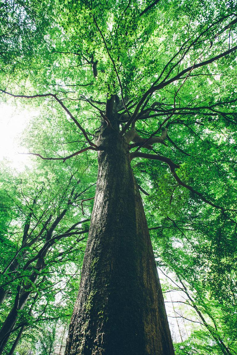 Solche Giganten dient es zu erhalten. Sie arbeiten ein Vielfaches mehr CO2 auf als Jungpflanzen.